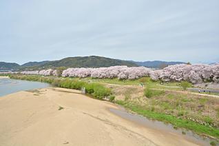 背割り桜1