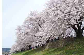 背割り桜2