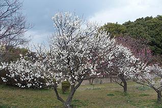 山田池公園の梅1