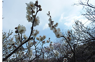 山田池公園の梅2