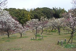 山田池公園の梅5