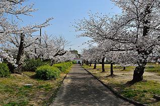 牧野公園の桜1