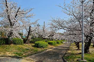 牧野公園の桜2