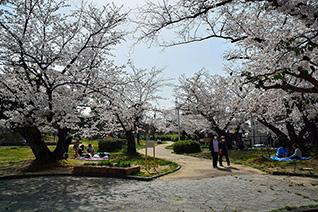 牧野公園の桜3