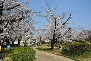 牧野公園の桜4