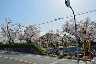 牧野公園の桜6